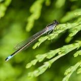 Blue Tailed Damsel. A blue tailed damselfly sits on a fir tree leaf stock photos