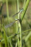 Blue tailed damselflies Royalty Free Stock Image