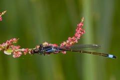 Blue-tailed damselfly Stock Photo