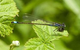 Blue Tailed Damselfly Royalty Free Stock Photos