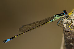 Blue Tailed Damselfly Stock Photography