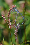 Blue-tailed Damselfly Stock Photography