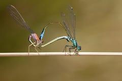 Free Blue-tailed Damselfly Stock Image - 49088531