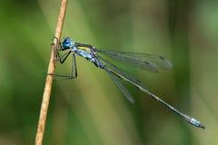 Blue Tailed Damselfly Royalty Free Stock Photo