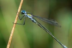 Blue Tailed Damselfly Stock Image