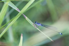 Common bluetail damselfly sitting on stalk of grass with green blurred background stock images