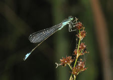 Blue Tailed Damselfly Royalty Free Stock Photo