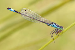 Blue Tailed Damselfly Eating Fly. On Grass stock photo
