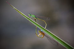 Blue-tailed Damselfly Stock Images