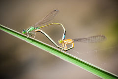 Blue-tailed Damselfly Royalty Free Stock Photo