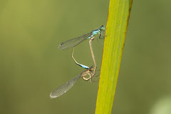 Blue-tailed Damselfly Royalty Free Stock Photography