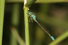 Blue tailed damselle. Royalty Free Stock Photography
