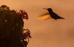 Blue Tailed Emerald hummingbird. In the sunset Curacao caribbean Royalty Free Stock Images