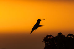 Blue Tailed Emerald hummingbird. In the sunset Curacao caribbean Stock Photos