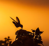 Blue Tailed Emerald hummingbird. In the sunset Curacao caribbean Royalty Free Stock Image