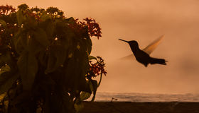 Blue Tailed Emerald hummingbird. In the sunset Curacao caribbean Royalty Free Stock Photos