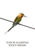 Blue tailed green bee eater Royalty Free Stock Photos