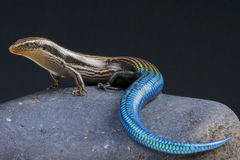Blue-tailed skink / Chalcides sexlineatus Royalty Free Stock Image