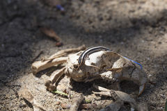 Blue-tailed Skink Crawling On A Rat Skull. Surrounded by bones in a desert setting Royalty Free Stock Photo