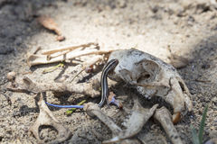 Blue-tailed Skink Crawling On A Rat Skull. Surrounded by bones in a desert setting Stock Image