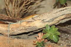 Blue tailed skink Stock Images