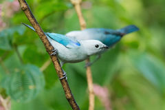 Blue tanager. Blue-gray tanagers in foliage in Costa Rica Royalty Free Stock Photos