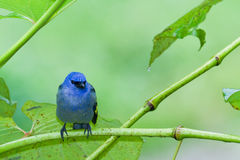 Blue tanager Stock Image