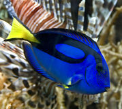 Blue Tang 1. Portrait of Blue Tang fish Royalty Free Stock Photo
