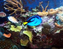 Blue Tang Royalty Free Stock Photography