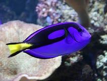 Blue Tang. A Beautiful Blue Tang Tropical Marine Fish royalty free stock photo