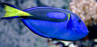 Blue Tang 2 Royalty Free Stock Photos