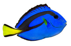 Blue Tang. Regal Tang isolated on white background. (Paracanthurus Hepatus royalty free stock photography