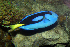 Blue Tang Royalty Free Stock Photo
