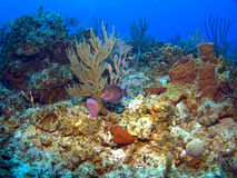 Blue Tang on a Caribbean Reef Stock Photos