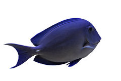 Blue Tang fish. (Acanthurus coeruleus) in front of white background royalty free stock photo