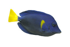 Blue Tang fish Royalty Free Stock Photography
