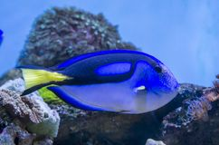 Blue Tang fish Royalty Free Stock Photos