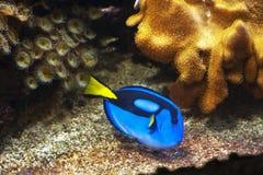 Blue Tang. Fish in Aquatopia aquarium. Antwerpen, Belgium stock images