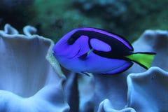 Blue Tang fish or Sergeonfish Stock Photography