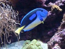 Blue Tang fish Royalty Free Stock Image