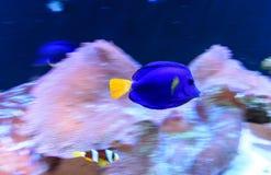 Blue tang fish Stock Photo