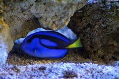 Blue Tang Hidden in Stones Stock Photo