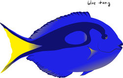Blue Tang Stock Photos