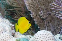 Blue Tang Juvenile. In Florida Keys Barrier Reef Royalty Free Stock Image