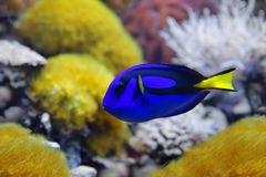 Blue tang Paracanthurus hepatus, a number of common names are attributed to the species, including  Palette surgeonfish, Regal t. Blue tang Paracanthurus hepatus Royalty Free Stock Photo