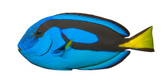 Blue Tang, Regal Tang isolated on white background. (Paracanthurus Hepatus) Royalty Free Stock Photography