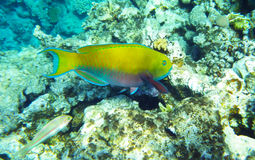 Blue tang surgeon fish underwater red sea Stock Image