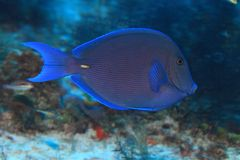 Blue tang surgeonfish. (Acanthurus coeruleus) in the tropical waters of the caribbean sea Stock Photo