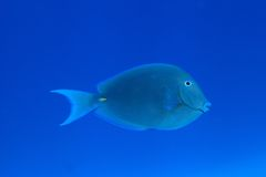 Blue tang surgeonfish. (Acanthurus coeruleus) in the tropical waters of the caribbean sea Royalty Free Stock Photo