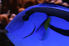 Blue Tank. Blue tang in reef tank Royalty Free Stock Images